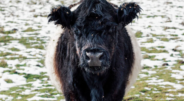 A herd of Belted Galloway cattle will be joining Ha…