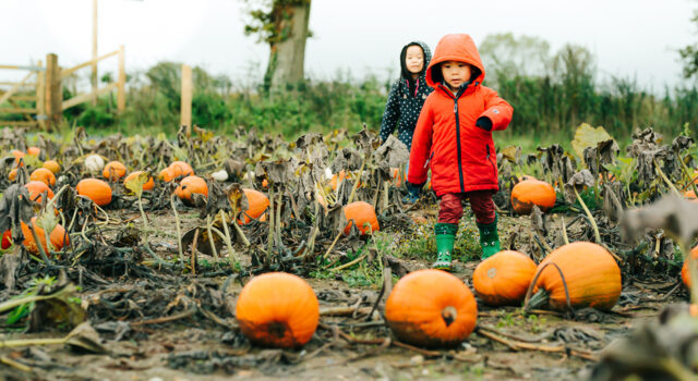 Tom plants 10,000 pumpkins for Halloween, with over 10 different…